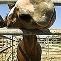 Horse Nose by Pam  Elliott