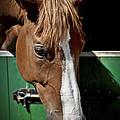 Horse Portrait by Heiko Koehrer-Wagner