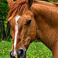 Horse Portrait by Mary Almond