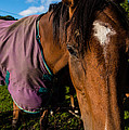 Horse Portrait With Purple Blanket by Dennis Dame
