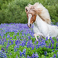 Horse Running By Lupines. Purebred by Panoramic Images