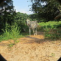 Horse Walks Toward Camera by Aaron Martens