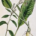 Horseradish by Elizabeth Blackwell