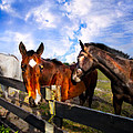 Horses At The Fence by Debra and Dave Vanderlaan