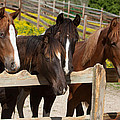 Horses Behind A Fence by Scott Sanders