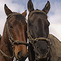 Horses  Belonging To Chagras Ecuador by Pete Oxford