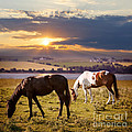 Horses Grazing At Sunset by Elena Elisseeva