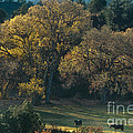 Horses In A Backlit Field With Fall Colored Trees Sedo by Dave Welling