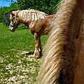 Horses In Meadow by Amy Cicconi