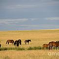 Horses In Saskatchewan by Mark Newman