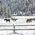 Horses In The Snow by Carolyn Fox