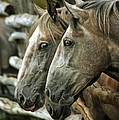 Horses Looking Through The Fence by Angel Ciesniarska