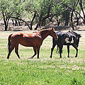 Horses Out Wickenburg Way by Tom Janca
