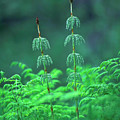 Horsetails by Bjorn Svensson/science Photo Library