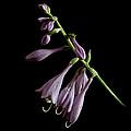 Hosta Flower After The Rain by Ness Welham