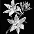 Hosta Flowers In Black And White by Carolyn Derstine
