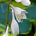 Hosta by Nick Kirby