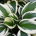 Hosta by Pete Trenholm
