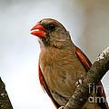 Hot Cardinal by Cheryl Baxter