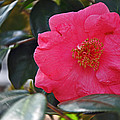 Hot Pink Camellia by Deborah Good