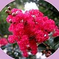 Hot Pink Crepe Myrtle Blossoms by Leanne Seymour
