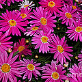 Hot Pink Daisies by Kaye Menner