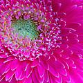 Hot Pink Gerbera Daisy by Heidi Smith