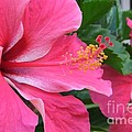 Hot Pink Hibiscus 2 by Mary Deal