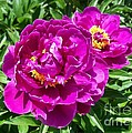 Hot Pink Peonies by Laurie Eve Loftin