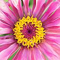 Hot Pink Zinnia by Jeanne May