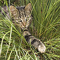 House Cat Hunting In Grass Germany by Konrad Wothe