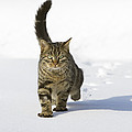 House Cat Male Walking In Snow Germany by Konrad Wothe