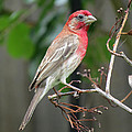 House Finch At Rest by JG Thompson