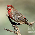 House Finch Carpodacus Mexicanus by Anthony Mercieca