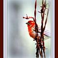 House Finch - Finch 2241-004 by Travis Truelove