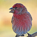 House Finch II by Debbie Portwood
