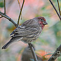 House Finch In Autumn by Amy Porter