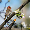 House Finch by Mike Dawson