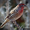 House Finch by Robert Bales