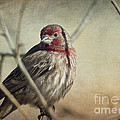 House Finch Two by Dianne Phelps