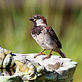 House Sparrow by David Byron Keener
