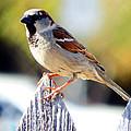 House Sparrow by David G Paul