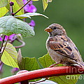 House Sparrow On A Wheel by Catherine Sherman