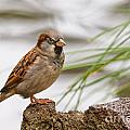 House Sparrow Passer Domesticus On The Perch by Stephan Pietzko