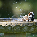 House Sparrow Washing by Tim Gainey