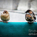 House Sparrows by Lainie Wrightson
