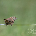 House Wren by Cheryl Baxter