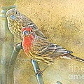Housefinch Pair With Texture by Debbie Portwood