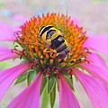 Hover Fly On Purple Coneflower by Kathryn Lund Johnson