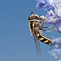 Hoverfly Feeding by Science Photo Library